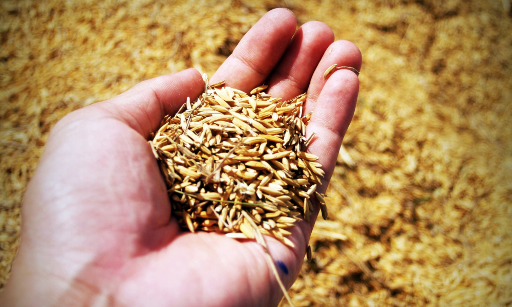 Farmed rice in hand