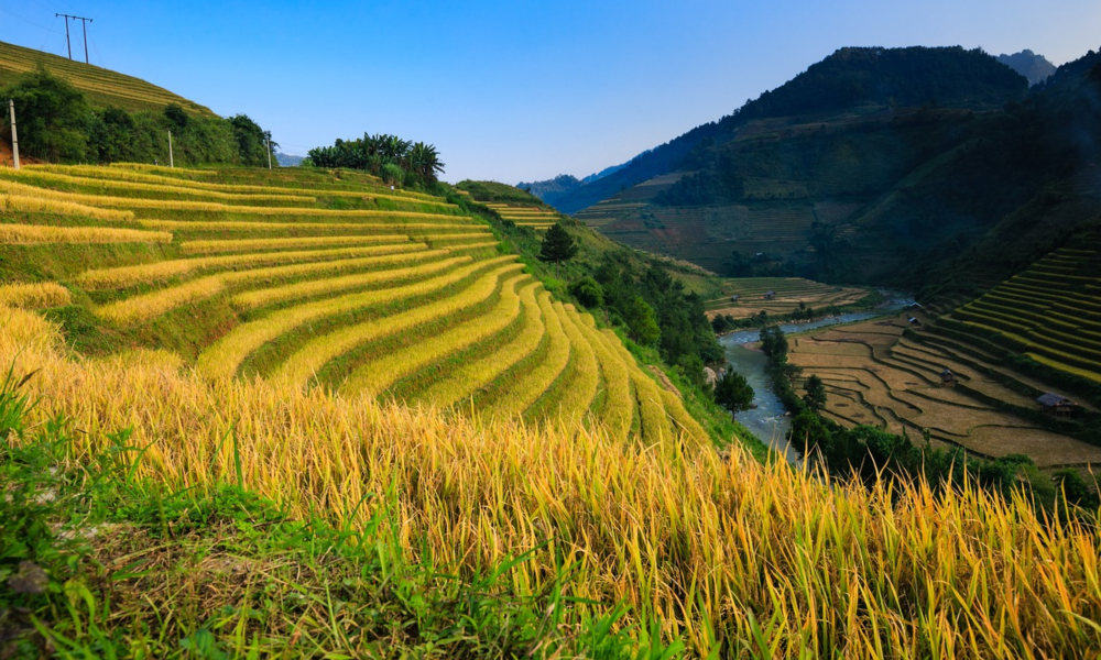 Rice Field - Vietnam